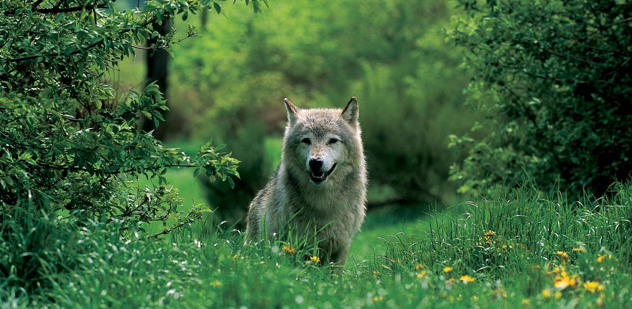 loup-cevennes-lozere-